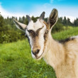 Smiling goat — Stock Photo