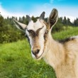 Stock Photo: Smiling goat