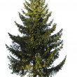 Fir on white — Stock Photo #10417868