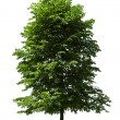 poplar tree — Stock Photo