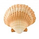 Seashell — Stock Photo #10529043
