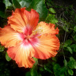 Orange hibiscus — Stock Photo