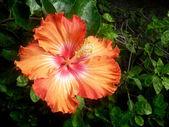 Orange hibiscus — Stock Photo