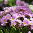 Beautyful purple flowers on the flower bed — Stock Photo