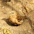 Stock Photo: Sparrow bathes in sand and dust