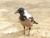 Portrait of the crow on the sand — Stock Photo