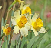 Narcissus on the field winh flower background — Stock Photo