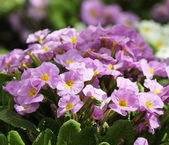 Beautyful purple flowers on the flower bed — Stock Photo