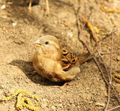 Sparrow bathes in the sand and dust — Stock Photo