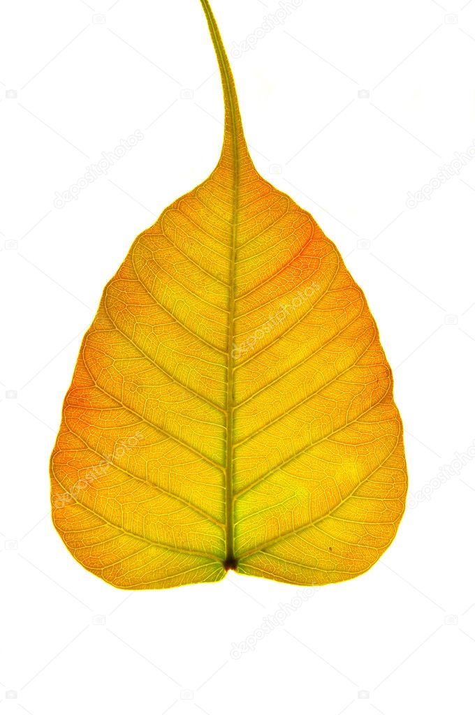 Close up top view of texture of red orange pipal leaf isolated on white background — Stock Photo #10257393