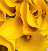 Zantedeschia jaune — Photo