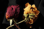 Dry roses — Stock Photo