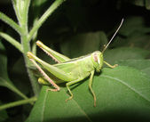 Grasshopper on a sheet — Stock Photo