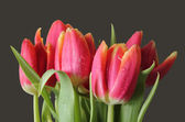 Wet isolated tulips — Stock Photo