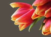 Macro bouquet of tulips — Stock Photo