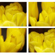 Macro photos of yellow tulips - Stock Photo
