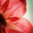 Macro petals of the red flower — Stock Photo