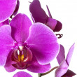 Purple orchids — Stock Photo