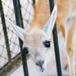 Little antelope - Stockfoto
