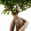 Ficus Ginseng — Stock Photo