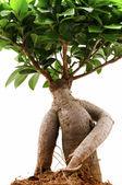 Ficus Ginseng — Stock Photo