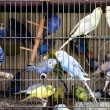Stock Photo: Caged Budgerigars