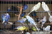 Caged Budgerigars — Stock Photo