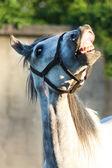 Horse smile — Stock Photo