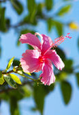 Hibisco — Foto Stock