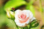Pink rose with ladybug — Stock Photo