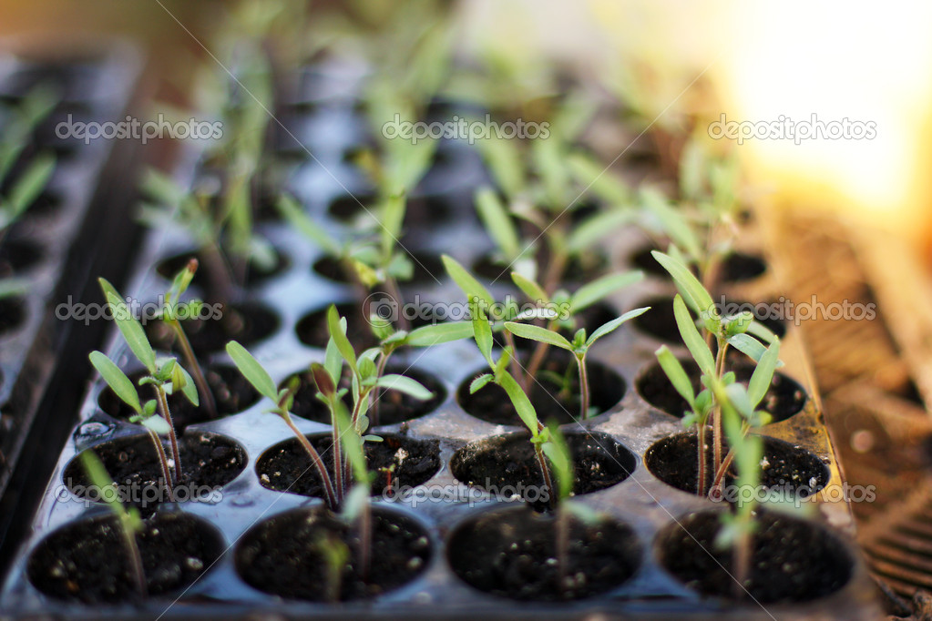 Seedlings — Stock Photo #10352355