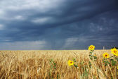 Sunflowers in a field — Stock Photo