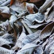 Stock Photo: Frost on Leaves