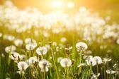 Sun above dandelion field — Stock Photo