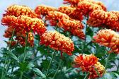 Orange chrysanthemum flowers — Stock Photo