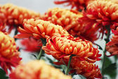 Oranžový chrysanthemum květiny — Stock fotografie