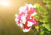 Big Petunia flowers — Stock Photo