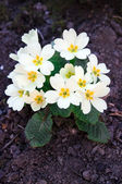 White primrose — Stock Photo