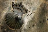 Pilgrim shell — Stock Photo