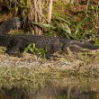 Alligator Sunbathing — Stock Photo