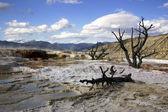 Abgestorbene bäume in mammoth hot spring — Stockfoto