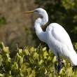 Great white heron — Stock Photo