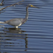 Tricolored Heron — Stock Photo #10345450