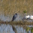 Wading birds — Foto Stock