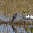 Stock Photo: Wading birds