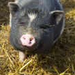 Curious pig — Stock Photo #10345562