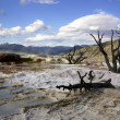 Dead Trees in Mammoth Hot Spring — Stock Photo