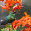 Stock Photo: Collared Sunbird posing