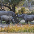 Stock Photo: Rhinoceroses family