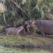 Stock Photo: Hippo family